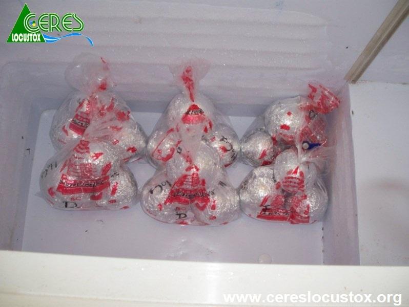 Conditionnement  d'échantillons de melon 11