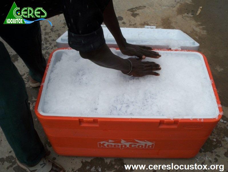 Conditionnement pour transport d'échantillons de melon 5
