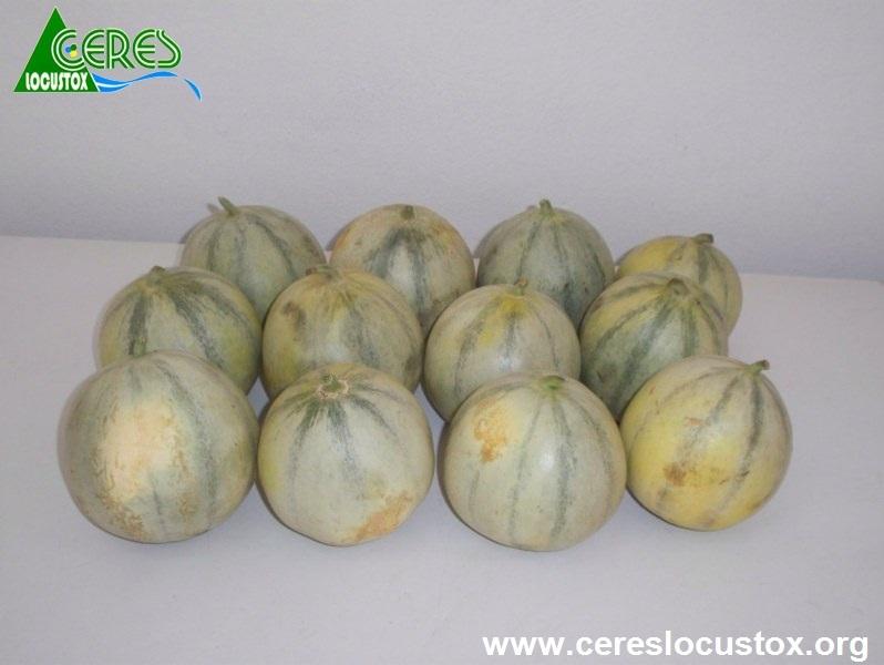 Conditionnement d'échantillons de melon 1