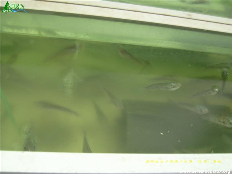 Elevage de masse de Oreochromis niloticus 6