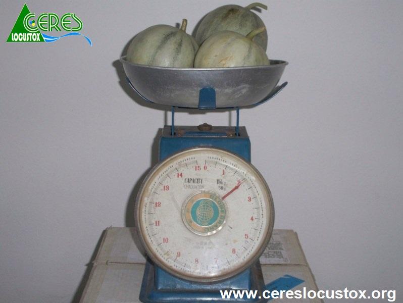Conditionnement d'échantillons de melon 3
