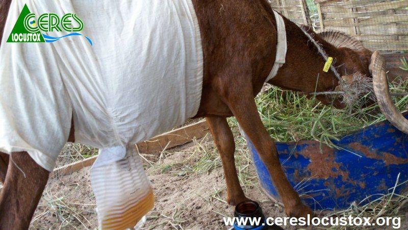 Dispositif de récupération des urines de moutons
