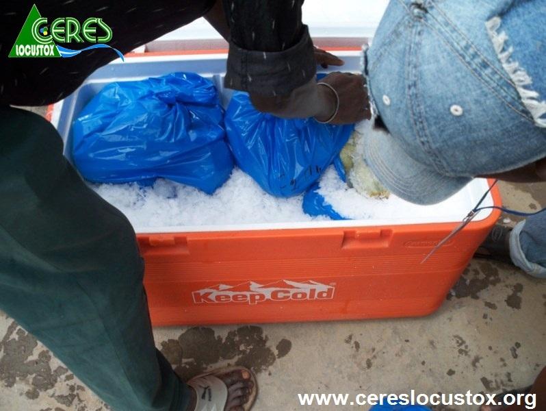 Conditionnement pour transport d'échantillons de melon 2