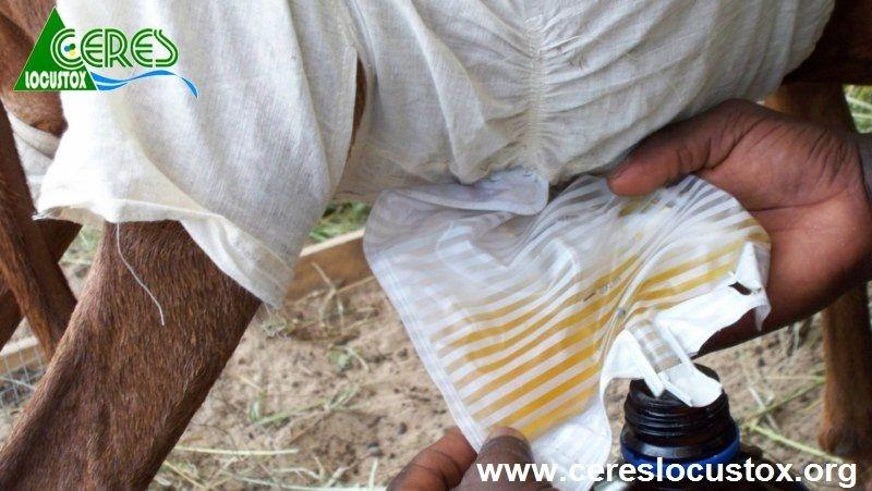 Dispositif de récupération des urines de moutons (3)