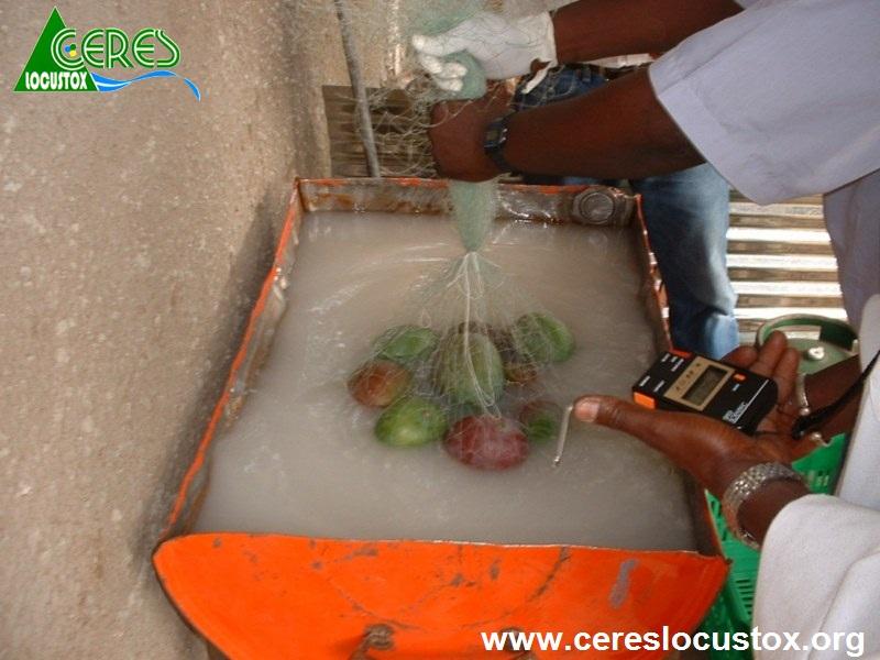 Trempage des mangues et chronométrage