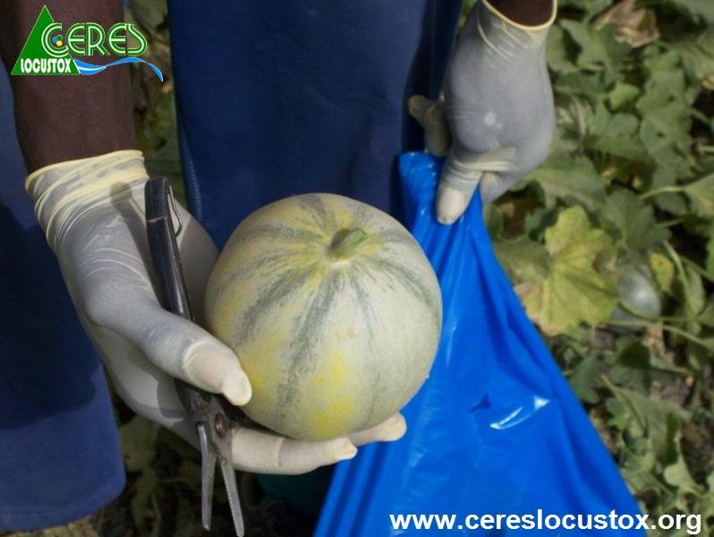 Prélèvement d'échantillons de melon 3